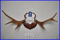 Moose Taxidermy Antlers Mount Bois monté, Cornes, Crâne À vendre Real, Decor St6581