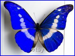 Morpho helena Véritable papillon dans le cadre de la vitrine Préparation nature Décoration Entomologie Insecte Taxidermie Curiosités Insect Art