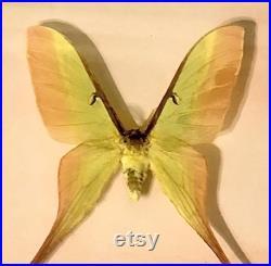 Moth de lune chinois dans l or rose accentuée curiosité papillon cadre bizarreries cabinet science art anniversaire du nouvel an présent