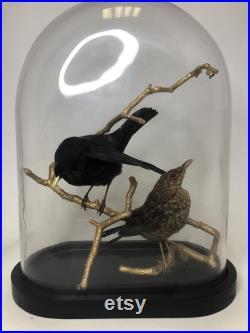 Oiseau Flirt merle de taxidermie