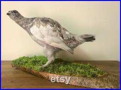 Oiseau de taxidermie Ptarmigan magnifiquement monté Taxidermie Femelle Ptarmigan