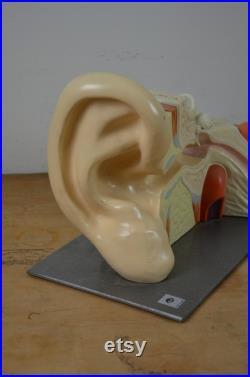 Oreille humaine HUGE Anatomy modèle original vintage années 1950 Hygienemuseum école allemande d éducation médicale entendre oddity objet antique bizarre années 50