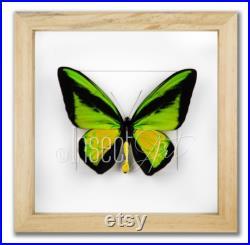 Ornithoptera procus, véritable papillon encadré dans le cadre en bois 25x25