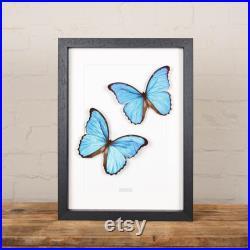 Paire bleue de papillon de Morpho dans le cadre de boîte (Morpho didius) taxidermie papillon Entomologie Nature Insecte Histoire naturelle