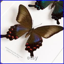 Paire de paon chinois dans le cadre de la boîte (Papilio bianor dehaani) Cadeau papillon