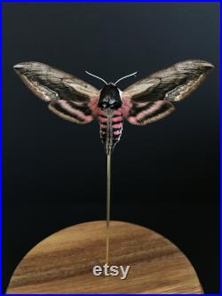 Papillon Sphinx ligustri Linnaeus appelé Sphinx du troène sous cloche en verre et socle en bois-Cabinet Curiosité- Entomologie