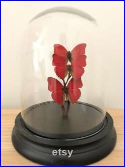 Papillons dans des dômes de verre. Papillons en cru antique ou nouveaux dômes de verre. Cadeau de papillon