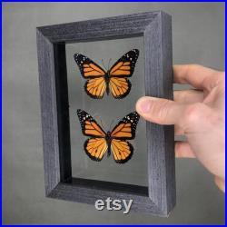 Papillons de monarque réels dans le cadre noir de bois