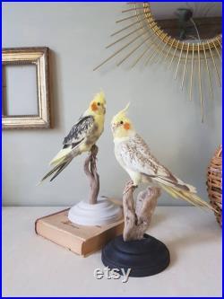 Perruche calopsitte naturalisée, taxidermie d'oiseau
