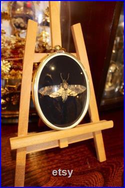 Petit cadre bombé ancien papillon sphinx acherontia styx death's-head hawk cabinet de curiosité entomologie naturalisé taxidermie oddities