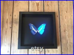 RARE Papillon Collector Morpho Cypris de Colombie naturalisé sous magnifique grand cadre en bois laqué noir avec fond noir-