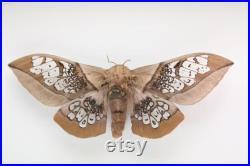 RARE Real Silk Moth encadré papillon papillon bug Neocarnegia basirei