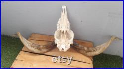 Ram skull 15 Crâne de bélier grade B