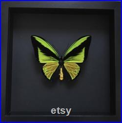 Rare Papillon Collector Exotique Ornithoptera Goliath Samson XXL naturalisé sous cadre en bois laqué noir-Entomologie-Butterfly-Lepidoptera