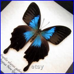 Rare papillon bleu métallisé encadré Papilio ulysses gabrielis