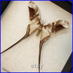 Rare papillon de saturne encadré Copioteryx semiramis