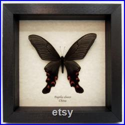 Real Giant Swallowtail papillon encadré Papilio elwesi
