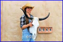 Real Longhorn Steer Skull 3 Pieds 1 Pouces de large Cornes de taureau polies Monté Cow Head Taxidermy