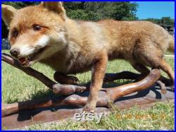 Renard mignon de taxidermie de cru décoré sur la branche, grand renard rouge mâle plein de corps.