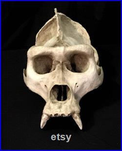 Réplique de crâne de gorille