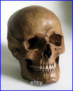 Réplique de crâne humain