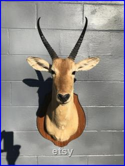 SOUTHERN REEDBUCK épaule Mount and Trophy cornes Safari africain chasse taxidermie Decor 1 redunca arundinum