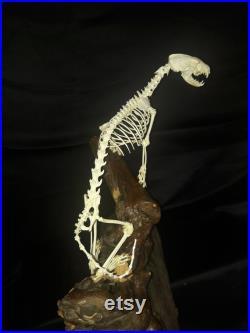 Savannah zorilla articulated skeleton zorille des savanes squelette complet