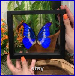 Single Morpho Helena Butterfly in Frame, Conserved Butterfly, Taxedermy d origine éthique