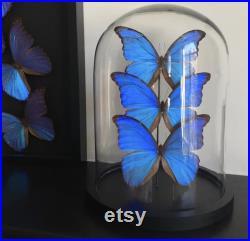 Splendide Ensemble de 3 Papillons Exotiques Morpho Didius du Pérou appelé le Géant Bleu sous globe Contemporain Cloche verre Curiosités