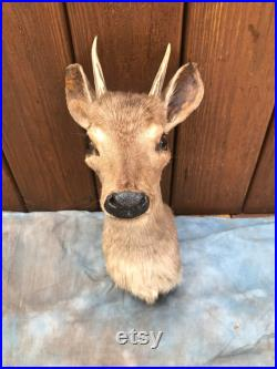 Taxidermie Rarement vu sud-américain Red Brocket Deer Sho.Mount Log Cabin Hunting Lodge (Mazama americana)