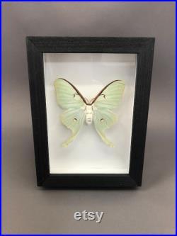 Taxidermie Real Luna Moth dans le cadre noir