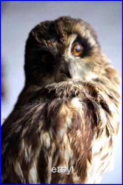 Taxidermie adulte antique Hibou des oreilles courtes Trophée Bourré Oiseau Fran ais Mur Mount Country House Curiosité