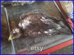 Taxidermie aigle royal