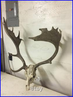 Taxidermie daim Skull and Point 22 énorme panache Log Cabin chasse Lodge décor 650