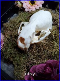 Taxidermie du crâne de la loutre de rivière en Amérique du Nord