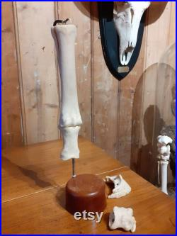 Taxidermie, jambe articulée de chevaux avec os amovibles