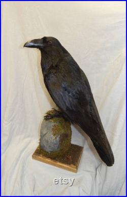 Taxidermy Raven, corbeau roi de la famille corbeau , Fait sur commande pas de tour artificielle montée sur un beau morceau de bois flotté