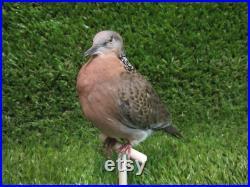 Tourterelle tachetée perchée Tourterelle des oiseaux Real Bird Taxidermy Mount