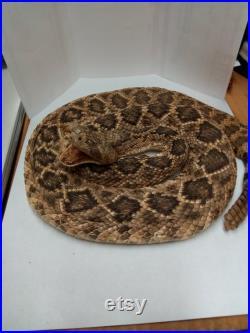 Trophée Taille enroulée Western Diamondback Rattlesnake
