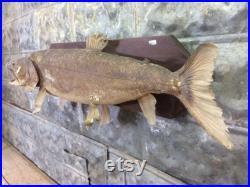 Truite arc-en-ciel montée steelhead, poisson taxidermy, trophée de pêche sportive vintage,