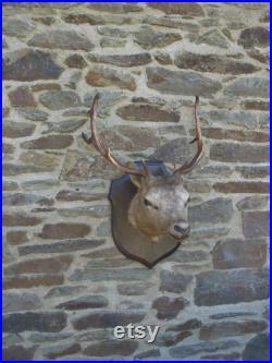 Un grand vieux Fran ais trophée de chasse de taxidermie cerf mâle tête de cerfs montés sur un bouclier de chêne