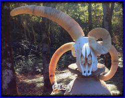 Un vrai crâne de bélier. Four Horned Blondie 4 Horns, Oddity.