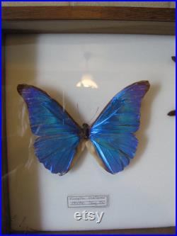 Une belle collection inhabituelle de taxidermie casée d un papillon une tarentule et un grand coléoptère