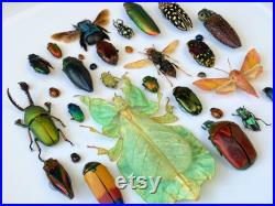 Unique cadre avec des insects , insecte papillon boîte cadre taxidermie entomologie nature, beauté insecte taxidermie photographie