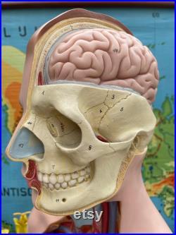 VINTAGE SOMSO TORSO MODEL 19 parties Modèle éducatif Modèle anatomie organes génitaux masculins et féminins interchangeables.