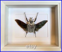 Véritable Coléoptère volant Géant Goliathus Orientalis d'Afrique ca 80mm naturalisé sous cadre caisson bois laqué blanc-cabinet Curiosités