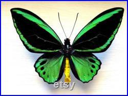 Véritable Ornithoptera Priamus Aruana paire encadré taxidermie décoration de la maison objets de collection RARE forme masculine