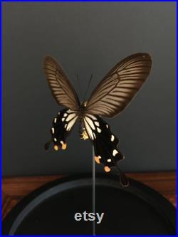 Véritable Papillon Losaria Coon de Java naturalisé sous cloche en verre et socle en bois-Cabinet Curiosité- Entomologie