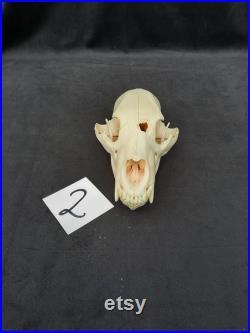 Véritable crâne d'ours