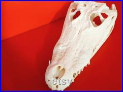 Véritable crâne de crocodile